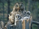Great Grey Owl - mother and chicks