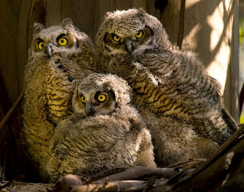 Great Horned - Owl chicks