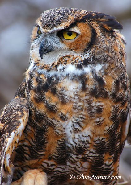 Great Horned - Owl