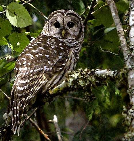 Spotted Owl -