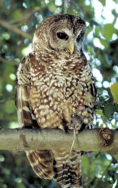 Spotted Owl - with a mouse in its talons