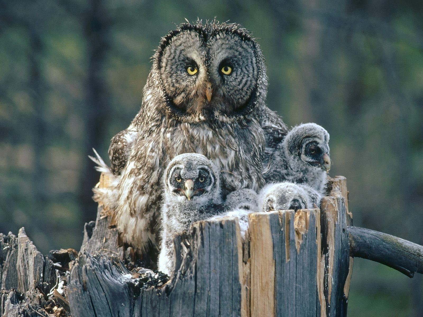 Great Gray Owl  - with chicks