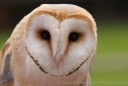 Barn Owl face -