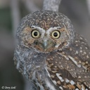 Elf Owl face -