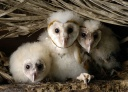 Barn Owl chicks -
