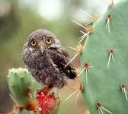 Elf Owl chick -