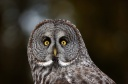 Great Grey Owl - face