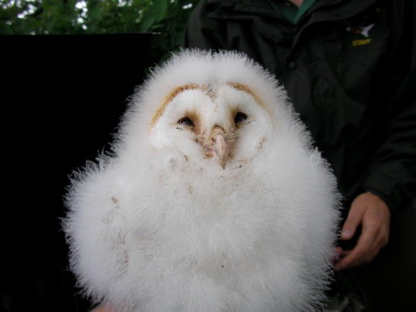 Barn Owl chick - Nice, big, and fluffy! :D