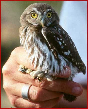 Pygmy Owl in a  - humans hand