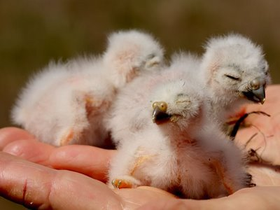 Burrowing Owl - 5 day old chicks