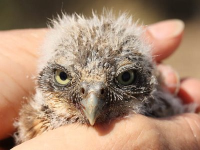 Burrowing Owl - 15 day old chicks