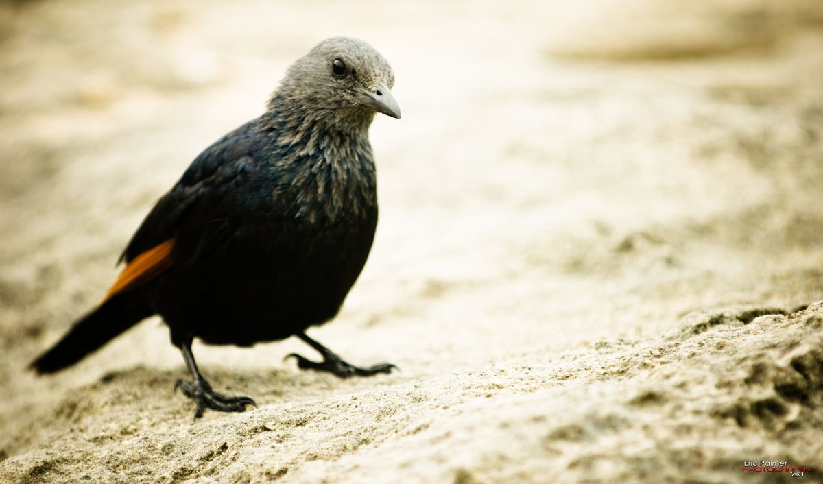 - Red wing Starling