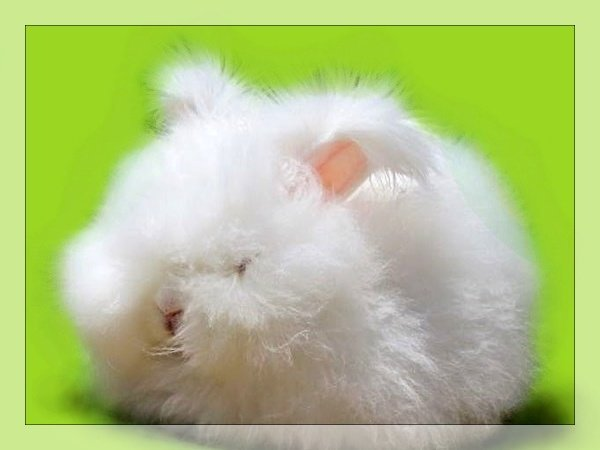 english-angora-rabbit3.jpg
